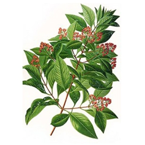 Sandalwood Amyris Essential Oil