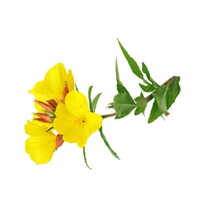 Evening Primrose Vegetable Oil