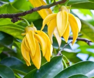 Daylight Saving Oils - Ylang Ylang