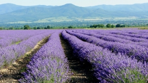 Relax and Unwind with Lavender Essential Oil