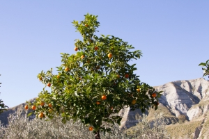 A Closer Look at Our Essential Oil Producers – The Citrus Harvest, Southern Italy