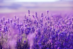 The Lowdown on Lavender
