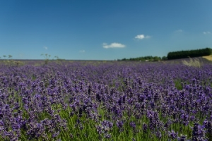 6 Ways to Make the Most of Lavender Essential Oil around the House.