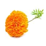 Marigold Tagetes Essential Oil